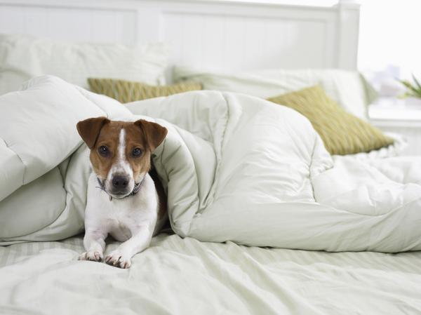 dog under blanket